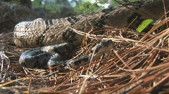 Timber Rattlesnake Baby Stock Footage