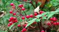 Red Berries HD Footage