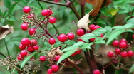 Stock Video Footage of Red Berries
