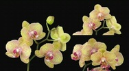 Stock Video Footage of Time-lapse of opening Phalaenopsis KV Charmer orchid 3c alpha matte
