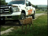 Stock Video Footage of Curious Whitetail Fawn close up