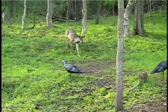 Curious Whitetail Buck Stock Footage