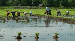 Workers on a Rice Field - stock footage