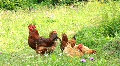 Poultry HD Footage