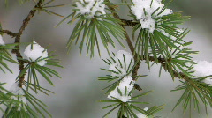 HD Last snow on spruce branches, closeup - stock footage