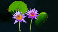 Two Water lillies close up with leafs Stock Footage