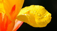 Yellow flower with dew drops Stock Footage