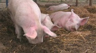 Happy pigs in straw Stock Footage