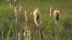 Dry Reeds at sunset Stock Footage