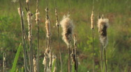 Stock Video Footage of Dry Reeds at sunset