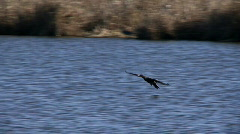 Cormorant lands on lake Stock Footage