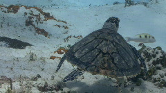 Turtle swimming away over sand Stock Footage