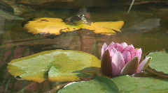 Frog Sitting on a Sunny Lily Pad Stock Footage