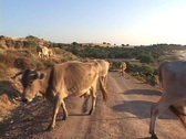 Cows at Besik Bay (site of the Greek camp at Troy) in modern day Turkey Stock Footage