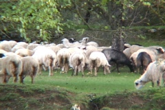 Ram, goat, sheep, horns, shepard, flock Stock Footage