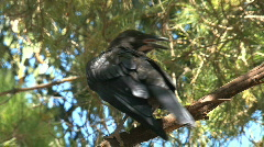 Black crow sitting in tree Stock Footage