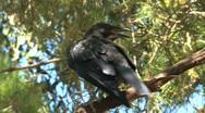 Stock Video Footage of Black crow sitting in tree