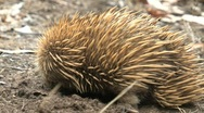 Echidna Stock Footage
