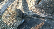 Stock Video Footage of Echidna
