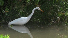 Great Egret Fishing - stock footage