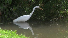 Great Egret Fishing Stock Footage