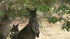 Kangaroo - stock footage
