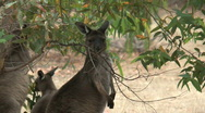 Stock Video Footage of Kangaroo