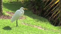 Great Egret - stock footage