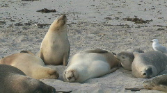 Sealions Stock Footage