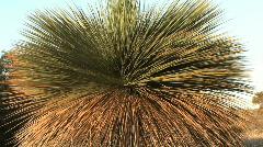 Australian tree - stock footage