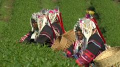 Akha Women Picking Tea Stock Footage
