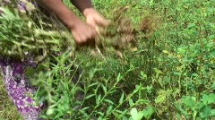 Cambodian Peanut Farmer - stock footage