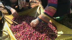 Coffee Harvest - stock footage