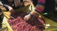 Stock Video Footage of Coffee Harvest