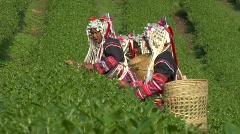 Harvesting Tea Stock Footage