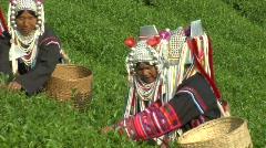 Oolong Tea Pickers Stock Footage