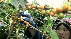 Picking Coffee Stock Footage