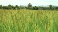 Rice Paddy Stock Footage