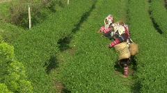 Tea Fields Stock Footage