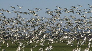 Stock Video Footage of snow geese