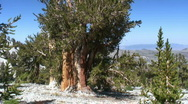 Bristlecone Pine Stock Footage