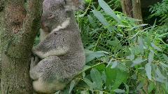 Koala Bear Waking Up Stock Footage