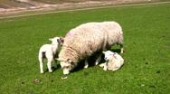 Sheep and lamb Stock Footage