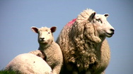 Mother sheep and lamb Stock Footage