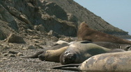 Stock Video Footage of seal rookery