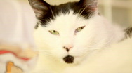 Stock Video Footage of black and white cat relaxing