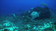 Leopard Sharks mating 4 Stock Footage