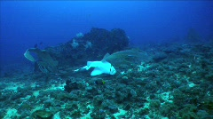 Leopard Sharks mating 3 Stock Footage