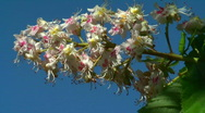 Stock Video Footage of HD 1080 - Blooming chestnut
