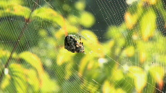 Large spider standing on the net and waiting for prey Stock Footage